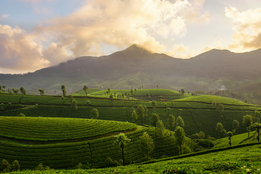 Tea Gardens of Munnar, India