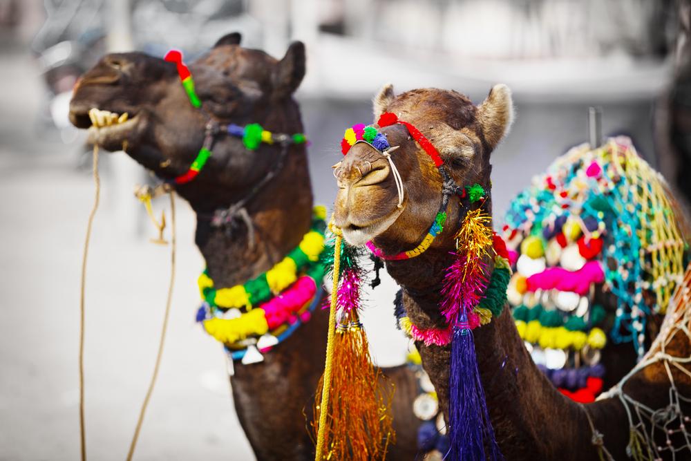 Pushkar Camel fair 2019 | Pushkar Fair 2019