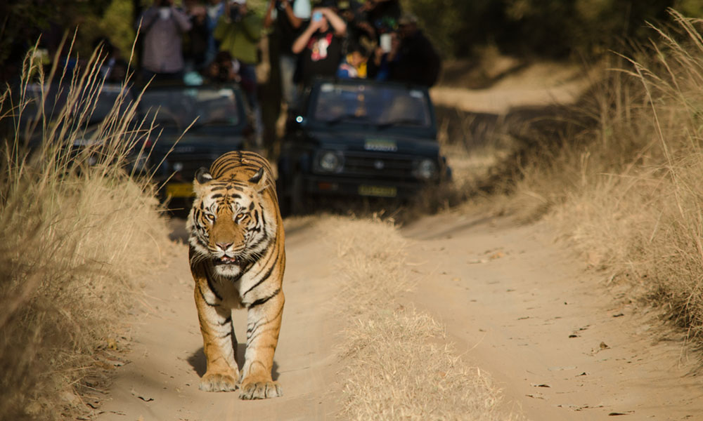 Sariska Tiger Reserve (195 km) | uncommon getaways from delhi