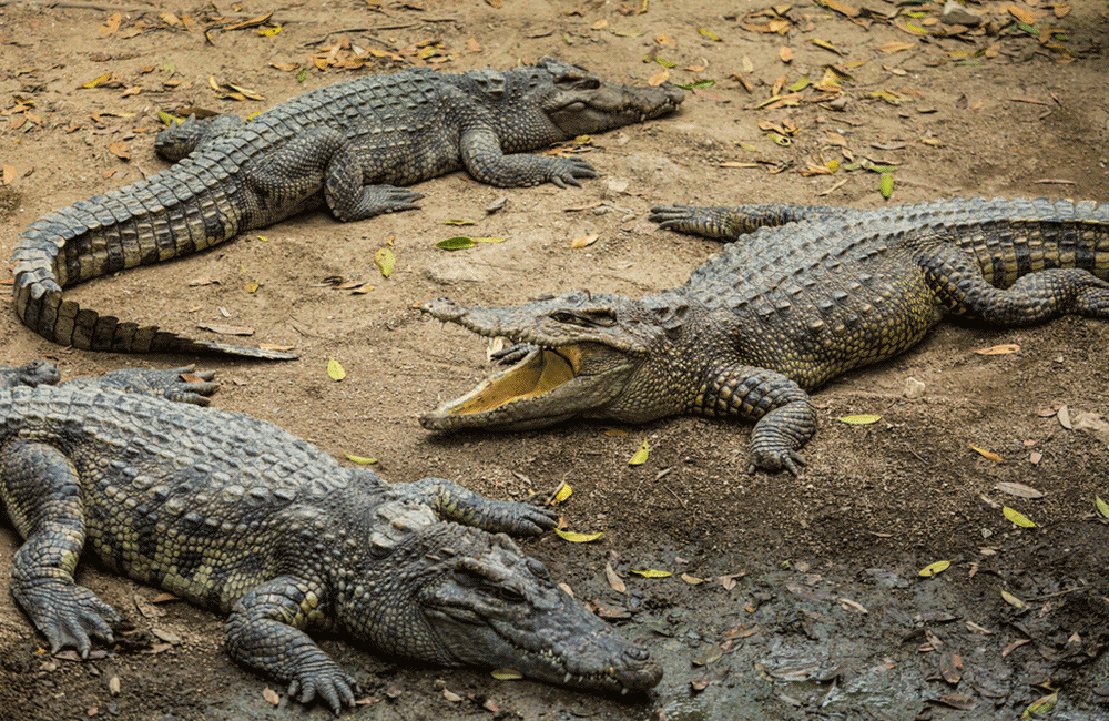 Getting up-close to Crocodiles