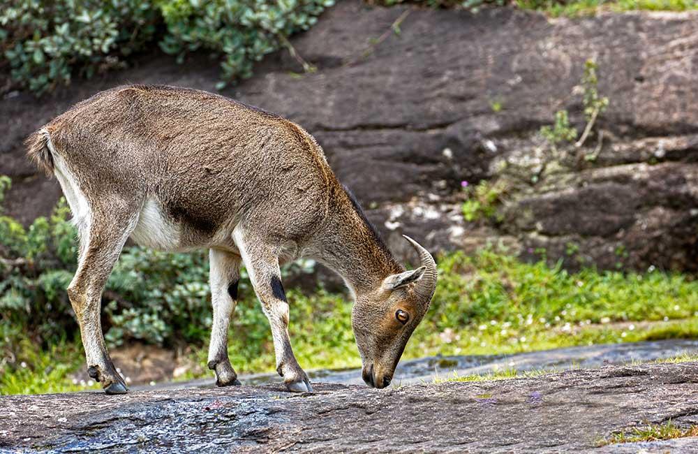 Eravikulam National Park | Best Places to Visit on Munnar Tour