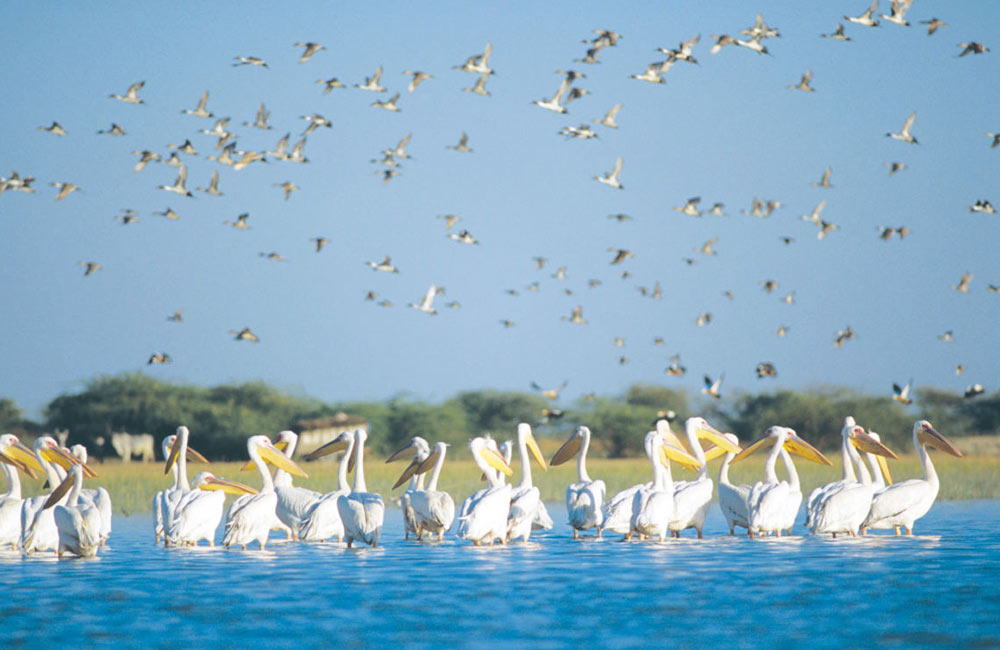 Nalsarovar Bird Sanctuary | Among the Best Places to Visit near Ahmedabad within 100 km