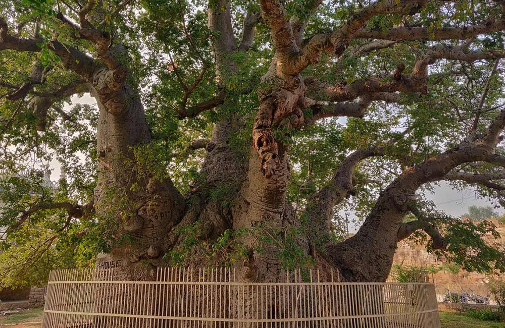 Hatiyan Jhad Baobab Tree, Hyderabad
