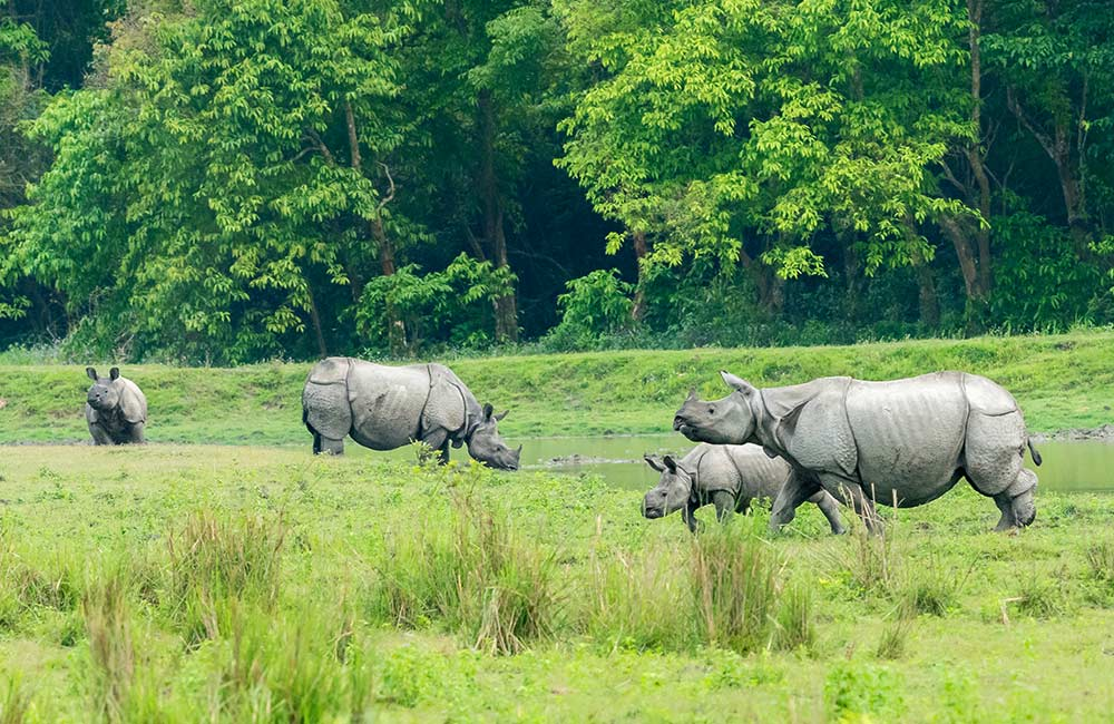 Crash of One-Horned Rhinos in Kaziranga National Park | Long Weekend 2019