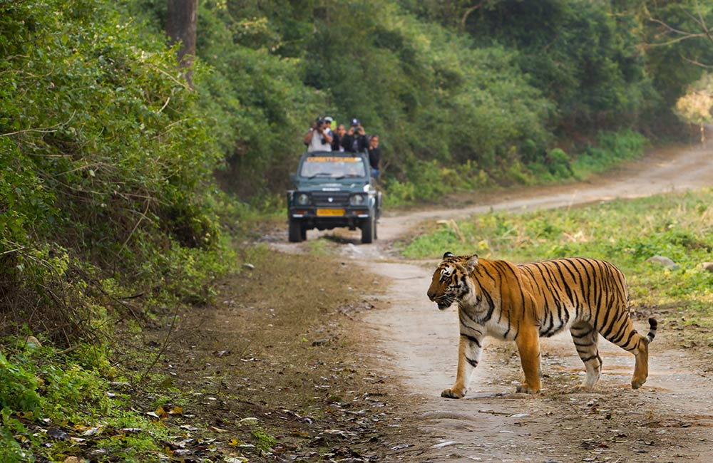 A Tiger in Jim Corbett National Park