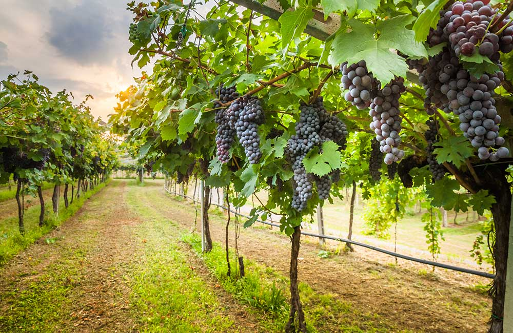 Vineyard Tour | #1 of 14 Things to Do in Bangalore for Youngsters | (source)