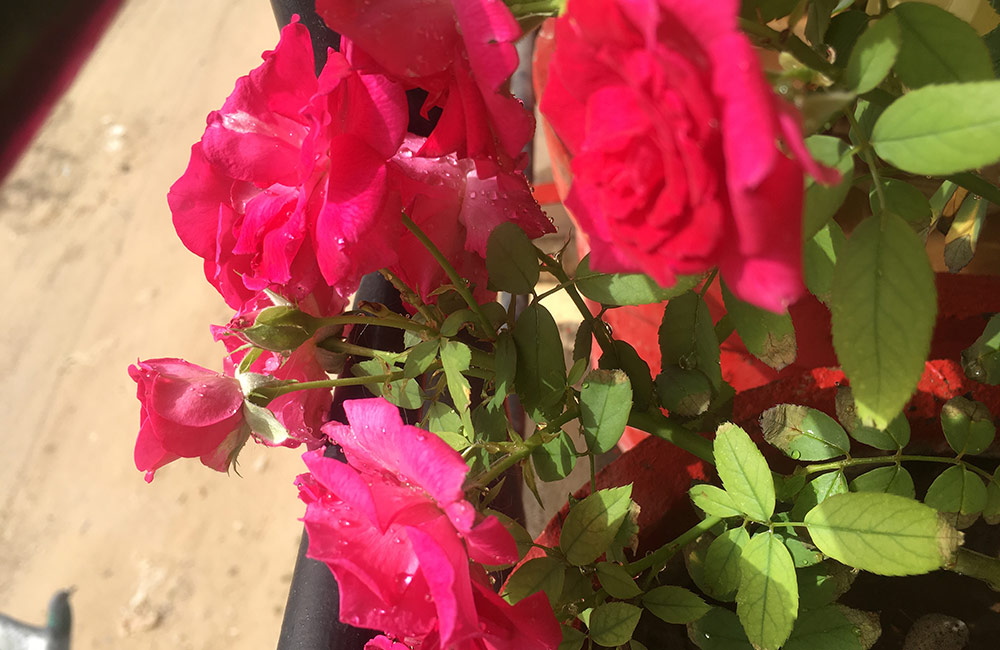 Rose Garden, Pushkar