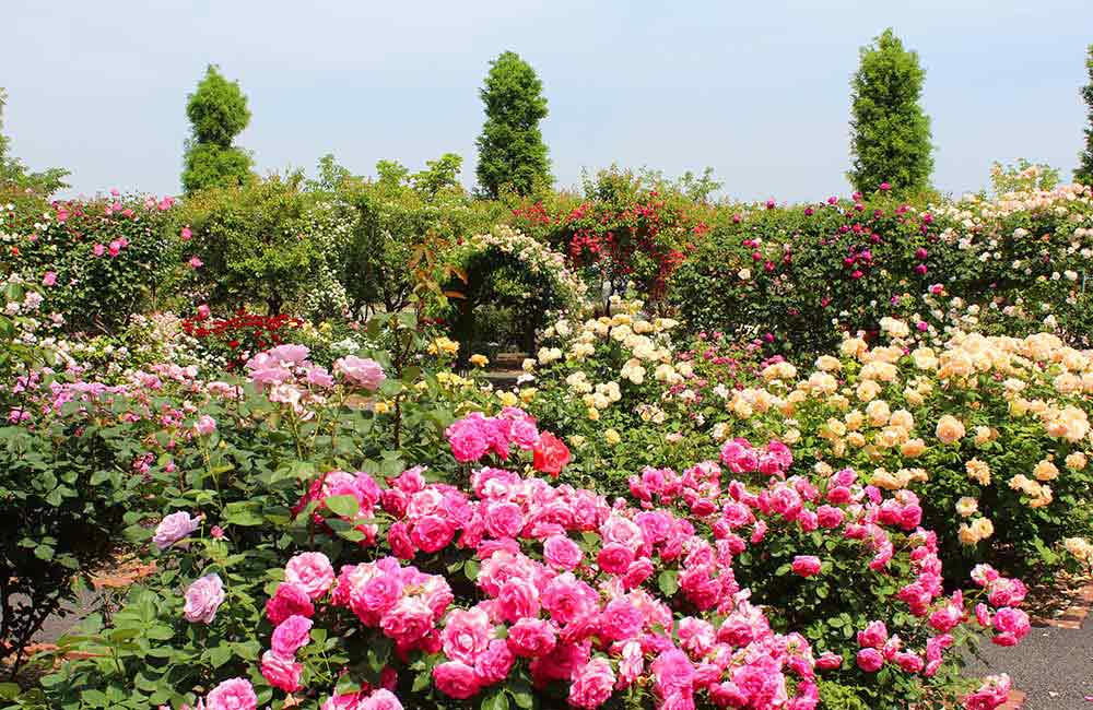 Government Rose Garden  | 2 days Itinerary Ooty